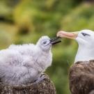 Hiába 70 éves már Wisdom, az albatrosz, újabb fiókája született
