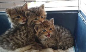 Szabadon engedték a Szikszón talált vadmacskákat – videó