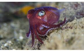 Mint egy mesefigura: rajzfilmbe illő élőlényt filmeztek le a kutatók az óceán mélyén