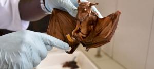24 új, ismeretlen koronavírus-fajtát találtak denevérekben