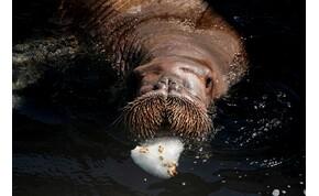 Elaludt egy sarkvidéki rozmár, egyszer csak Írországban találta magát