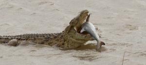 A nap fotója: ez a krokodil épp lenyel egy cápát