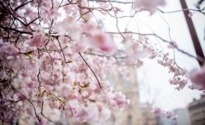 A vártnál sokkal korábban kezdődött idén a cseresznyefa virágzás Japánban