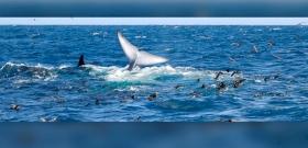 """""""Vérbuborék emelkedett a felszínre"""" – delfinek ölték meg a világ legnagyobb állatát"""