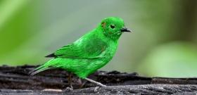 Az evolúció Instagram-filtere: ügyes csellel csábítja el a nőstényeket ez a madárfaj