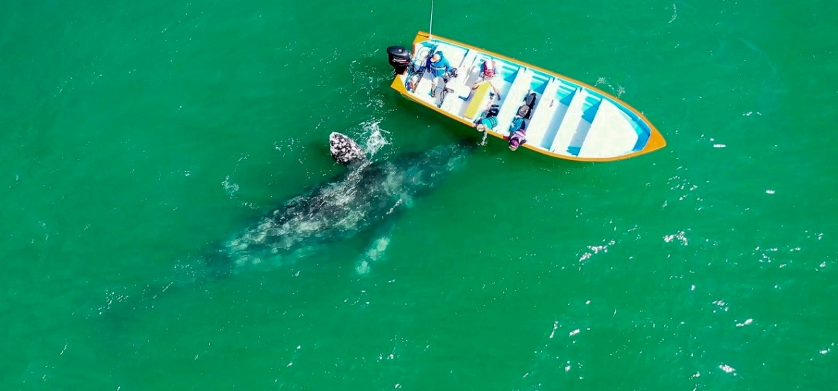Több, mint tíz év után tűnt fel ismét szürke bálna a Földközi-tengerben