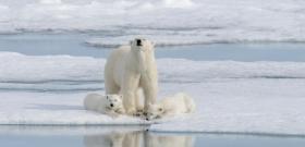 Egy hibrid medvefaj jelentheti a jegesmedvék utolsó esélyét
