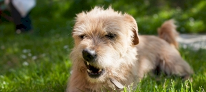 Soha nem gondoltad volna, miért eszik füvet a kutyád!