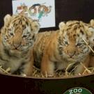 Szibériai tigriskölykök születtek a Kecskeméti Vadaskertben