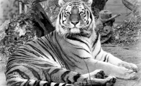 Meghalt Norbi, a budapesti állatkert öreg tigrise