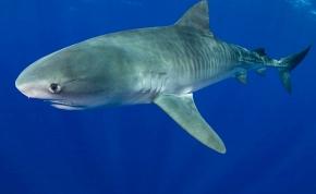 Tetovált, emberi kart öklendezett fel egy akváriumi cápa