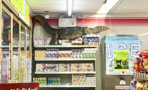 Óriás varánusz sokkolta egy bolt vásárlóit