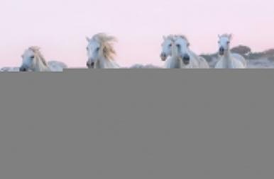 Láttad már a francia cowboyok csodálatos paripáit? Eljött az idő, hogy megismerkedj eme különleges állatokkal