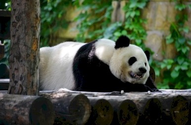 Nézd meg, milyen cukin szunyókálnak a pekingi állatkert pandái!