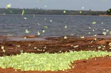 Zöld pillangók ezrei rajzanak Thaiföld északi partján