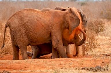 Miért szeretik beborítani magukat narancsszínű porral az elefántok? Megvan a válasz!