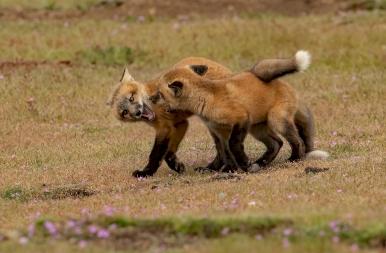 Édes rókák testvér harca